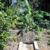Banana Pit absorbing runoff water